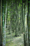 Bamboo Garden Royalty Free Stock Photo