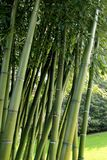 Bamboo garden. Large garden with variegated bamboo plant Royalty Free Stock Photo