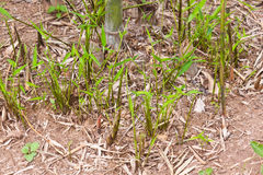 The bamboo Stock Photo