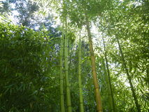 Bamboo Royalty Free Stock Photography