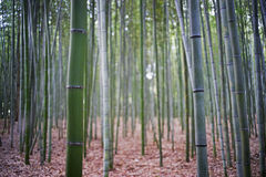 Bamboo garden1 Stock Images