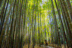 Bamboo Garden in Kamakura Japan Royalty Free Stock Photo