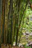 Bamboo Garden of Tranquility Stock Photography