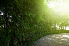 Bamboo garden with warm sun lights . nature landscape scene . green environment zen style . copy space wallpaper . stock photo
