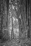 Bamboo gate. Bamboo forest in the Grahamstown Botanical Garden in the Eastern Cape, South Africa Stock Photos