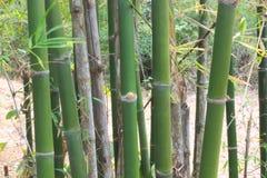 Bamboo Royalty Free Stock Photography