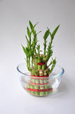 Bamboo-good luck plant one. Lucky Bamboo stalks tied with red ribbon symoblising fire,  Kept in a glass bowl with water Stock Images