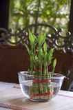Bamboo-good luck plant seven. Lucky Bamboo stalks tied with red ribbon symoblising fire,  Kept on the dinning table in a glass bowl with water Royalty Free Stock Photos