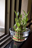 Bamboo-good luck plant two. Lucky Bamboo stalks tied with red ribbon symoblising fire,  Kept near window in a glass bowl with water Stock Images