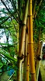Bamboo. This is the good one but not mine its natures good one Stock Photos