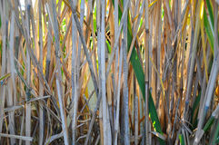 Bamboo grass Royalty Free Stock Photo