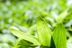Bamboo grass leaf Royalty Free Stock Photography