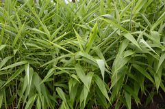 Bamboo grass Stock Images