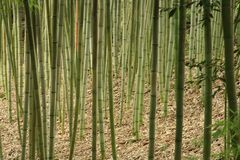 Bamboo grass stalk plants stems growing in California park stock image