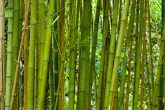 Bamboo grass stalk plants stems growing in dense forest Royalty Free Stock Photography
