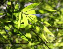 Bamboo green branch. Stock Photos