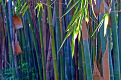 Bamboo in green color in the afternoon Royalty Free Stock Images