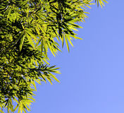Bamboo green foliage on the blue. Free background. Royalty Free Stock Images