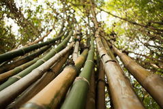 Bamboo green forest background Royalty Free Stock Photography