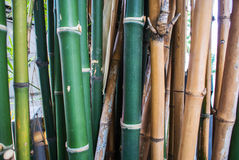Bamboo green forest background Royalty Free Stock Photo