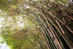 Bamboo green forest background. Bamboo green forest summer background royalty free stock image