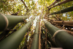 Bamboo green forest background Royalty Free Stock Photos