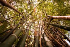 Bamboo green forest background. Bamboo green forest summer background royalty free stock photo