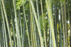 Bamboo green forest Stock Photo