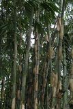 Bamboo, green and fresh trees, behind the home page stock photography