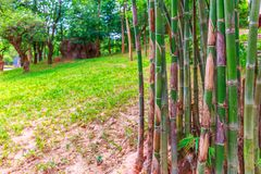 Bamboo and Green Grass Growing on a Hill stock images