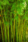 Bamboo green Royalty Free Stock Photography