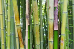 Bamboo green jungle or forest background. Royalty Free Stock Images