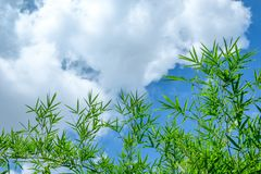 Bamboo green leaf on blue sky Stock Photo