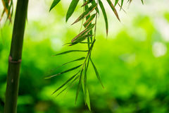 Bamboo green leaf soft blurred Royalty Free Stock Photo
