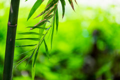 Bamboo green leaf soft blurred Royalty Free Stock Image