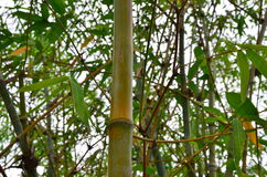 The bamboo. With green leaves Stock Image