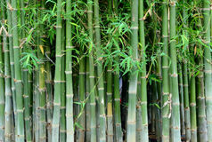 Bamboo .Green nature background Royalty Free Stock Photos