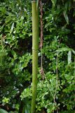 Bamboo in green plants. With bamboo stock photo