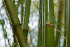 Bamboo. Green Bamboo tree closeup in forest Stock Photos