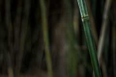 Bamboo Stock Photo