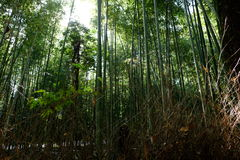 Bamboo groove Stock Photography