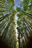 The bamboo groove in Sagano. Arashiyama. Kyoto. Japan. Bamboo Forest is a natural forest of bamboo in Arashiyama, Kyoto; the forest consists of several pathways stock image