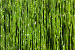 Bamboo grove. Dense forest of bamboo, close up Royalty Free Stock Image