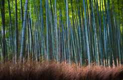 Bamboo grove in Arashiyama, Kyoto, Japan Royalty Free Stock Photo