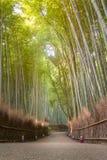 Bamboo grove in autumn season at Arashiyama in Kyoto. Beautiful nature bamboo grove in autumn season at Arashiyama in Kyoto, Japan Royalty Free Stock Photo