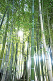 Bamboo grove with backlight Stock Image
