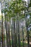 Bamboo  Grove or Bamboo forest of Arashiyama. Bamboo forest Srashiyama Kyoto Japan Stock Images