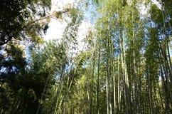 Bamboo  Grove or Bamboo forest of Arashiyama. Bamboo forest Srashiyama Kyoto Japan Royalty Free Stock Images