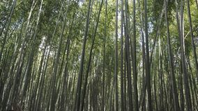 Bamboo  Grove or Bamboo forest of Arashiyama. Bamboo forest Srashiyama Kyoto Japan Royalty Free Stock Photography