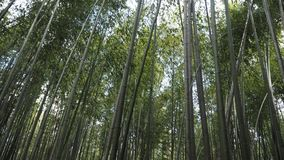 Bamboo  Grove or Bamboo forest of Arashiyama. Bamboo forest Srashiyama Kyoto Japan Royalty Free Stock Photos